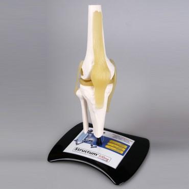 3D анатомичен модел кат.№KM091