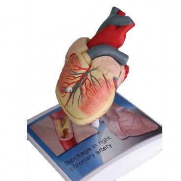 3D анатомичен модел cat.№